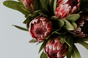 Pink Proteas