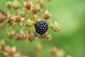 Blackberry berry on a bush a summer day