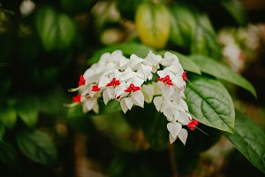 Klerodendrum flower. Nature