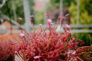 Flower of drosera