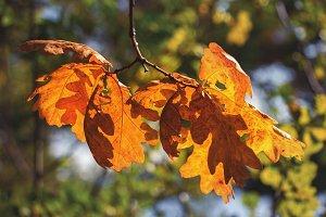 Autumn orange leaves of oak.