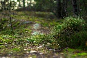 Pathway through pine forest.