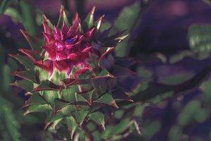 Spiked artichoke thistle.