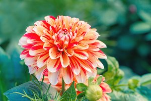 Big bud of striped Dahlia flower.