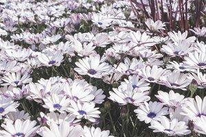 Cape marguerite flowers