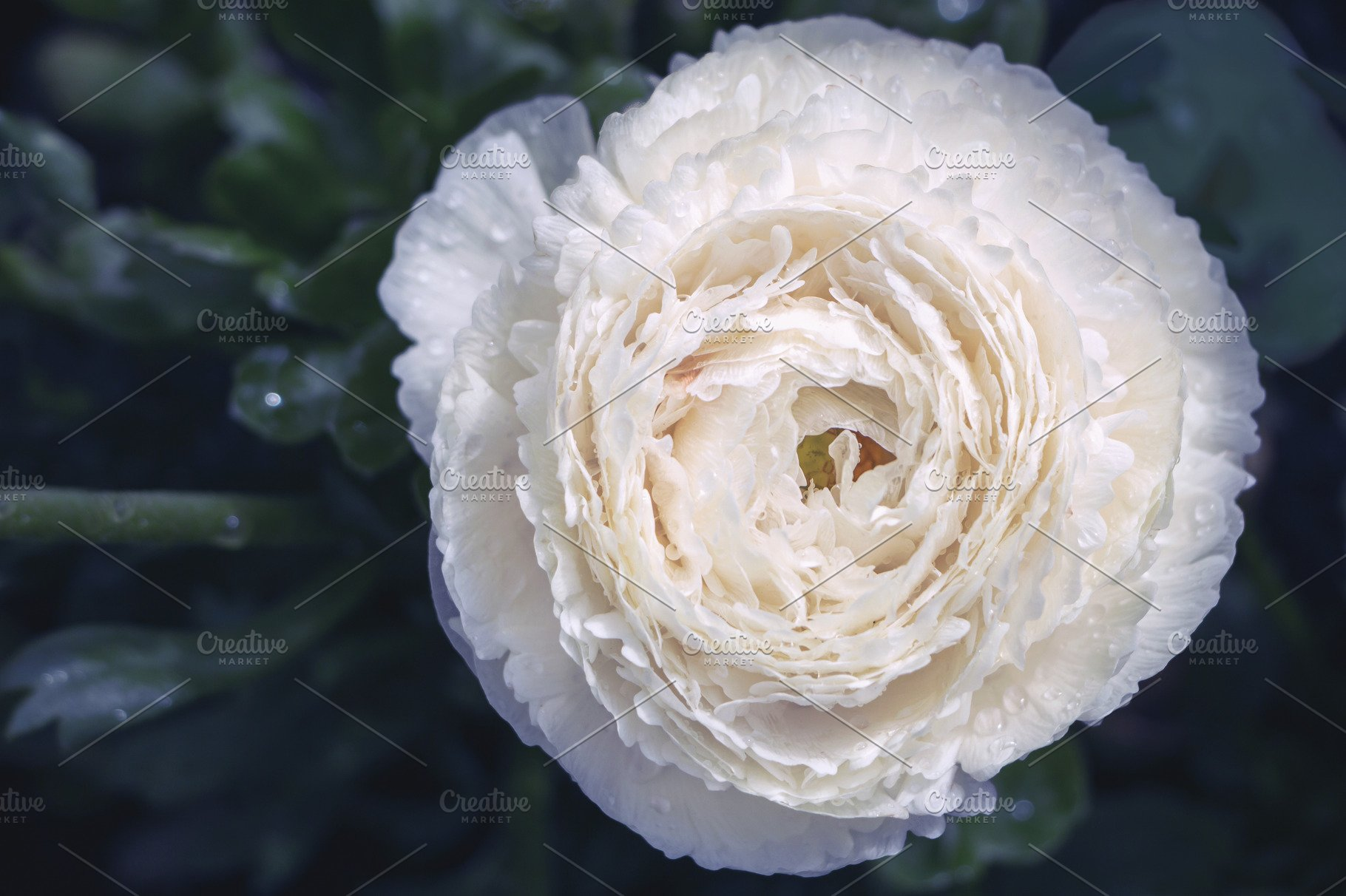 White persian buttercup flower
