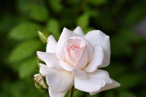 Schwanensee rose