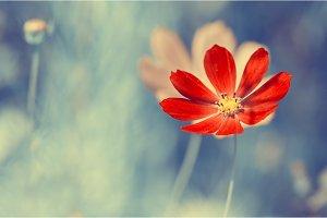 A bright red wild flower on blue blurred background.