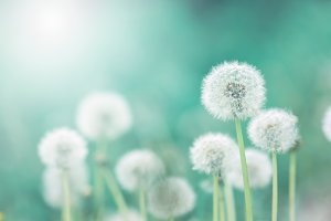 White fluffy dandelions, natural green blurred spring background, selective focus