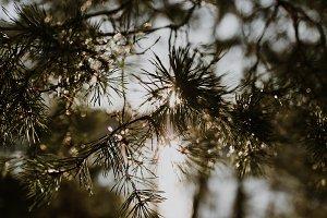 Sunny Pine