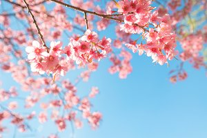 cherry blossom flower