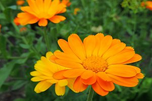 Calendula flowers in summer garden.