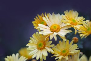 chamomile yellow flowers on blue