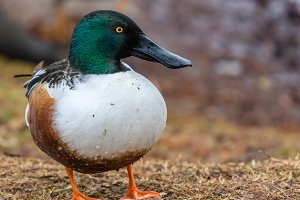 A beautiful Northern Shoveler