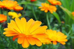 Calendula marigold flowers.