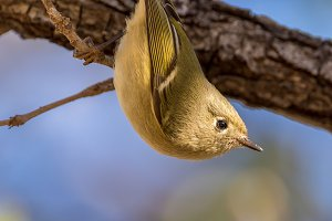 A Ruby Crested Kinglet