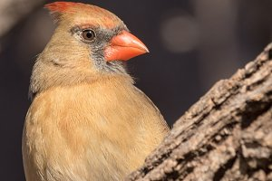 A vibrant female Northern Cardinal