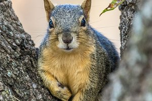 A Fox Squirrel posing for a portrait