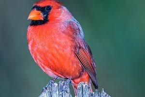 A beautiful male Northern Cardinal