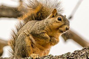 A cold Fox Squirrel