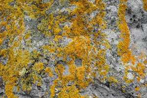 Yellow moss on the stone texture