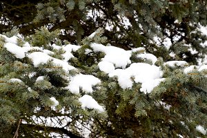 The branches were spruce, covered with snow. Winter in the taiga.