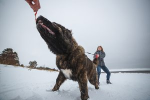 Master and her obedient Caucasian Shepherd dog playing in winter forest