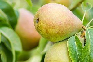 Russet pears on tree
