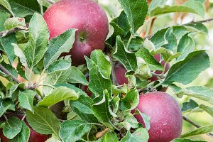 Ripe jonathabn apples in orchard