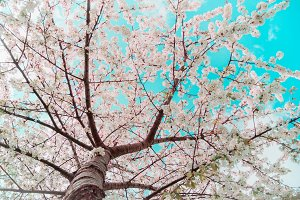 Blossom tree at sky background