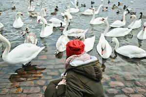 Girl feeds the swans in Prague