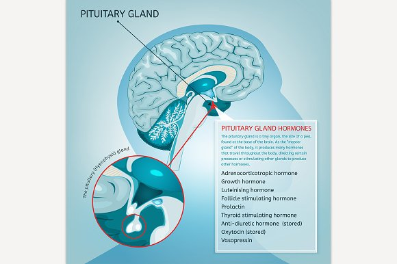 Pituitary Gland in Illustrations