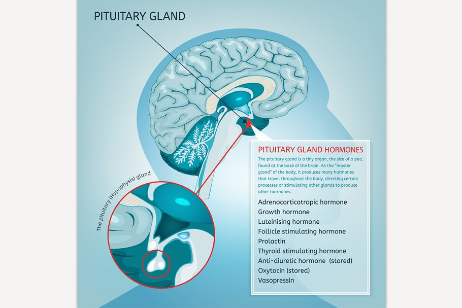 Pituitary Gland Illustrations Creative Market