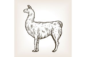 Llama animal engraving vector illustration