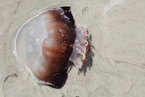 Jellyfish on a beach