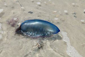 portuguese man-of-war on a beach