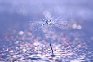 A dandelion seed with drops of rose