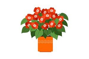 Impatiens house plant in flower pot