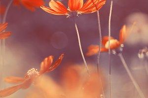 Red cosmos flower in sunlight.