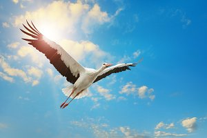 White stork flying in the sky