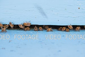 Closeup timelapse of bees flying into beehive entrance on summer day
