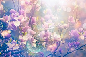 Blurred magnolia blooming