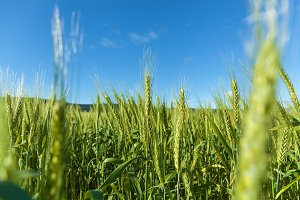 field of green immature barley. Spikelets of barley. The field is barley, Rural landscape