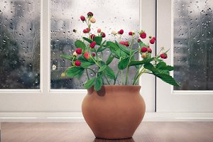 Bouquet of wild strawberries in a clay pot on the window.