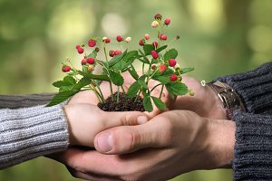 Hands of adult and child holding wild strawberry
