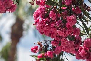 Branch of pink oleander