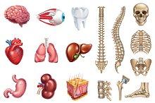 Skeleton, internal organs. Vector