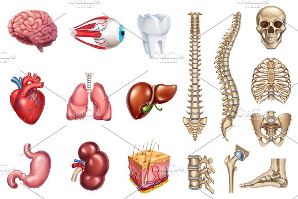 Skeleton, internal organs. Vector ~ Illustrations ~ Creative Market