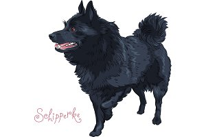 Color sketch black dog Schipperke breed