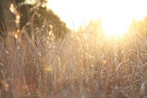 Golden Wheat at Sunset